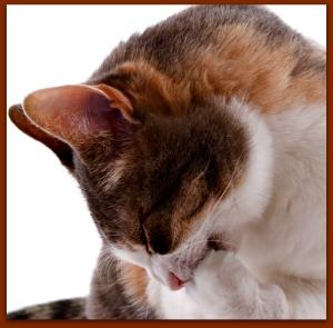 Cat grooming itself