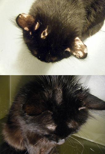 cat w/ ringworms on head